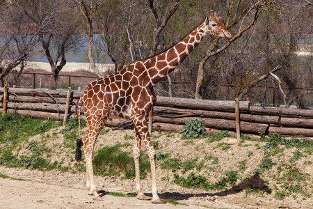 giraffa camelopardalis: Somali giraffe Giraffa camelopardalis reticulata. Stock Photo