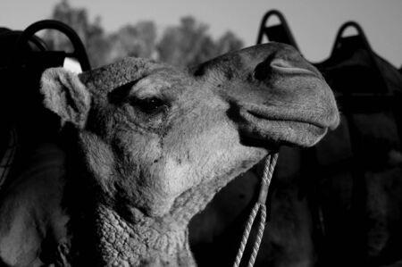 ayers: Camel Face Ayers Rock