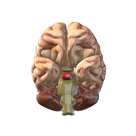 losing memory: human brain isolated and white background.3d render.
