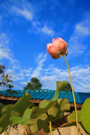 Lotus against perfect sky photo