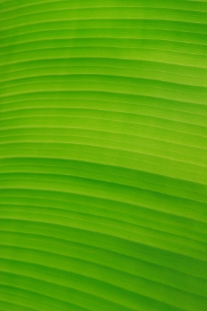 fibered: banana tree leave background