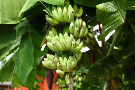 Green banana on tree and fresh leaf photo