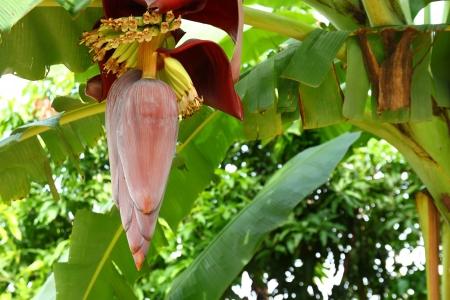 sustenance: Banana tree with a blossom Stock Photo