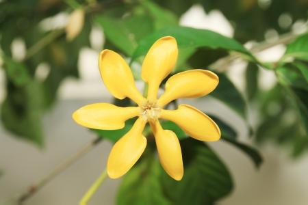 golden gardenia flower or Gardenia carinata Wallich  photo
