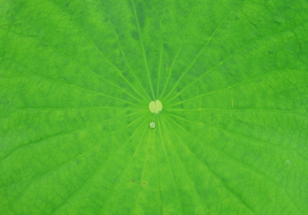 hydrophobic: Lotus leaf with water drops