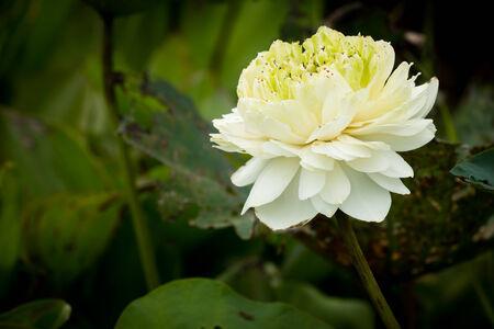 lilia: Hermosa flor de loto