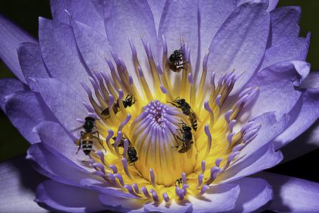 Closeup Violet Lotus Flower photo