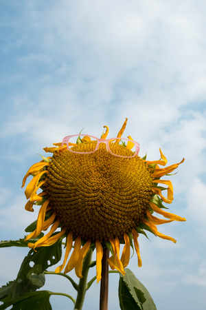 Sunflowers need glasses photo