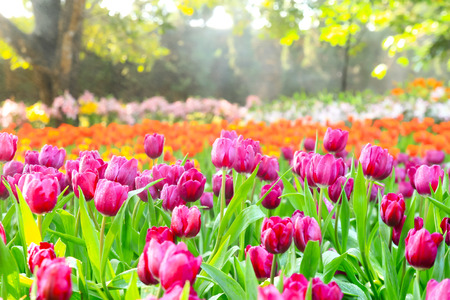 tulips field: colorful tulips, tulips in spring Stock Photo