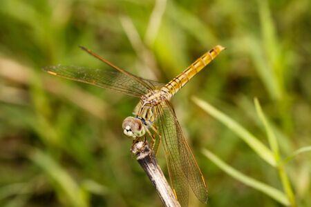 vulgatum: Vagrant Darter Dragonfly (Sympetrum vulgatum) resting on a Twig with Bright Green Background