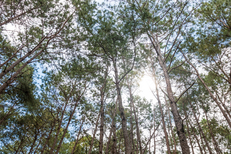 sustain: Competition of pine trees To sunlight necessary to sustain life Stock Photo