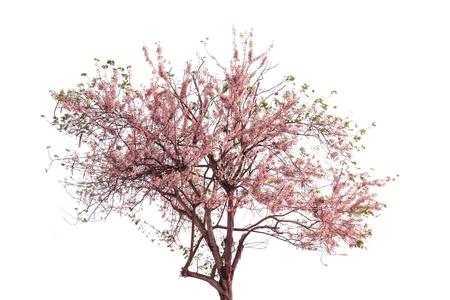 wishing: Pink flower of Wishing tree, pink shower, cassia bakeriana craib. Thailand