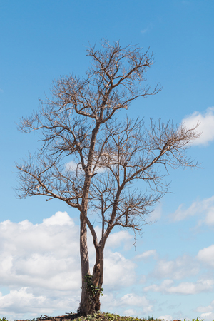lonely Dead tree in sunny day with beautiful cloud and blue sky