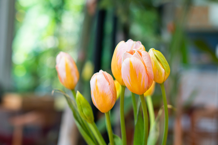 tulips flower on bokeh background 写真素材