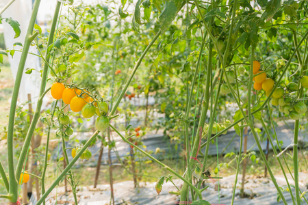 fresh tomatoes plant growth in organic greenhouse garden Imagens