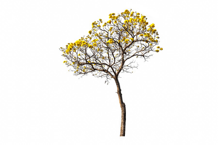 Golden Tree  or Yellow tabebuia flower or Tallow Pui isolated on white background
