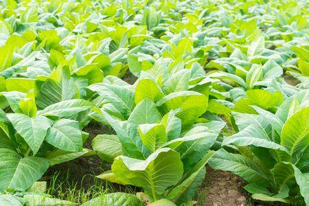 tobacco field the plant for cigarette