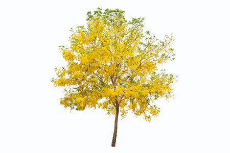 tree Cassia fistula and yellow flowers isolated on white background