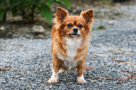 longhair Chihuahua dog is standing on the ground in the park