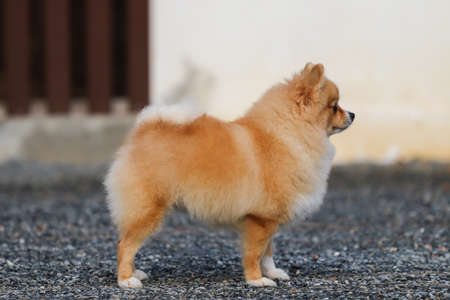 adorable red pomeranian spitz puppy standing outdoors