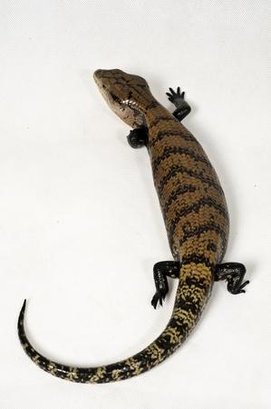 slink: Portrait of a reptile species captured bluetongue in the studio