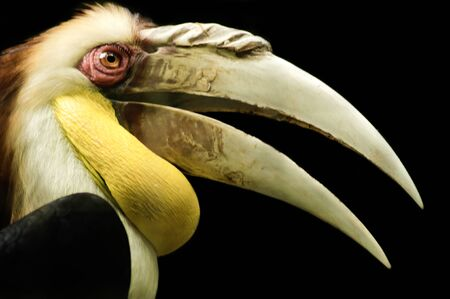 close up shot of a red-eyed papuan hornbill in a birdpark taken during daylight  photo
