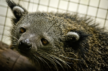 bearcat: The Binturong, Arctictis binturong also known as Asian Bearcat, Malay Civet Cat, Palawan Bearcat or just simply the Bearcat, is neither a bear nor a cat but is a species of civet of the family Viverridae.