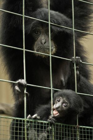 siamang: Close up portrait of siamang and here baby. Stock Photo