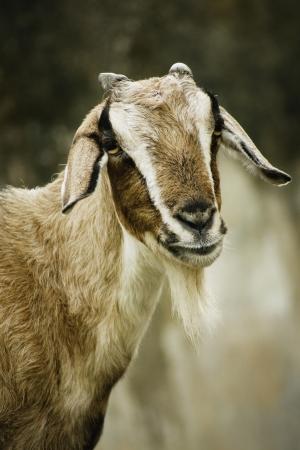 goat head: Image of desert goat close up.