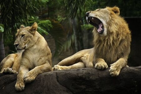 pair of lions was playing on a large rock. photo