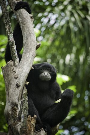 siamang: portrait of siamang was sitting on the tree.