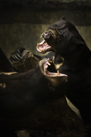 indo china: Fighting and playing Sun bear also known as a Malaysian bear  Helarctos malayanus   Stock Photo