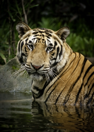 undomestic: A photo of wild Bengal tigers at the zoo  Stock Photo