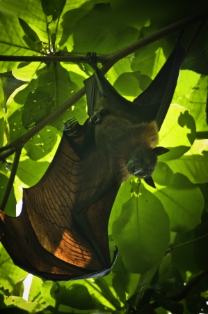 webbed foot: closeup of small brown bat sitting on branch Stock Photo
