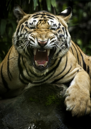 A photo of wild Bengal tigers at the zoo  Imagens