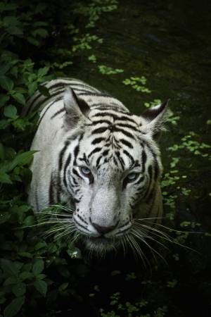 White Bengal Tiger playing in the grass and soak in the pool