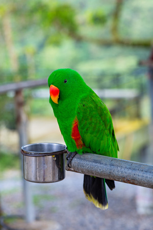 Beautiful green eclectus parrot bird and feed