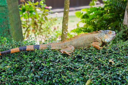ugliness: Large lizard of the iguana on the leaves of the Bush
