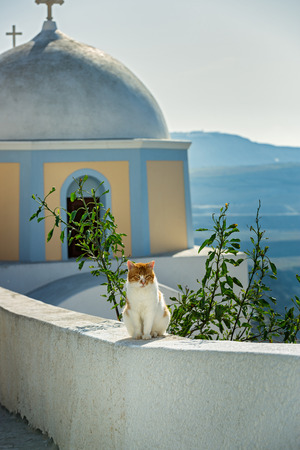 Red cat basking in the sun on the background of the Church of Santorini