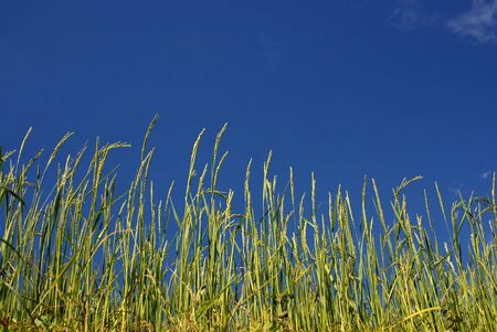 ricefield: Ricefield under blue sky,Nepal Stock Photo