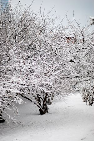 shrubbery: white snow covered the shrubbery