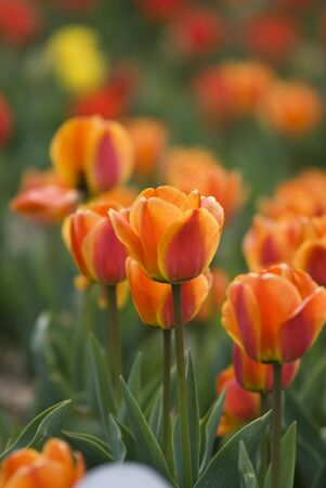 Bright Blooming Tulips Growing In Spring Garden,Processed from a 12 bit RAW files in Adobe RGB colorspace and professionally retouched to achieve the best image quality Stock Photo - 6834966
