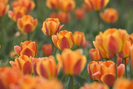 Bright Blooming Tulips Growing In Spring Garden Stock Photo - 6898700