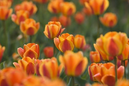 Bright Blooming Tulips Growing In Spring Garden Stock Photo - 6834982