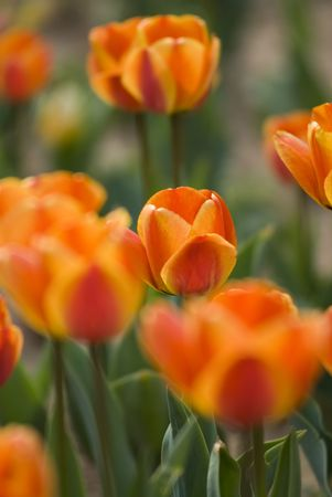 Bright Blooming Tulips Growing In Spring Garden Stock Photo - 6898703