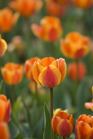 Bright Blooming Tulips Growing In Spring Garden Stock Photo - 6834962