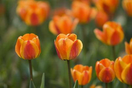 Bright Blooming Tulips Growing In Spring Garden Stock Photo - 6898701