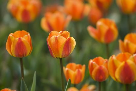 Bright Blooming Tulips Growing In Spring Garden photo