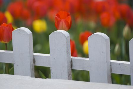 Red Tulips Behind White Fence Stock Photo - 6944621
