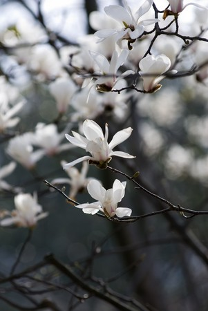 White Magnolia In Spring Garden photo